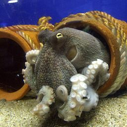256px-Octopus_vulgaris